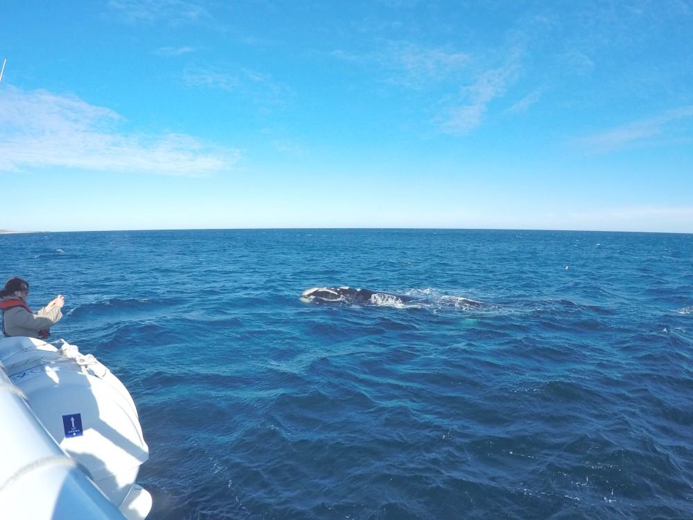 Baleias na Península Valdés